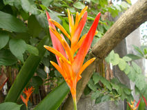 Paradis d'oiseau de fleur de Heliconia sur les usines Image libre de droits