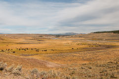 Paradis de bison en parc national de Yellowstone Photos stock