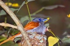 Paradis-FLYCATCHER africain (viridis de Terpsiphone) Photographie stock