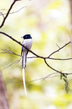 Paradis-FLYCATCHER du Madagascar Photo stock