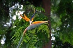 paradis tenerife för fågelkanariefågelö royaltyfri foto