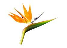 paradis tenerife för fågelkanariefågelö Arkivbilder