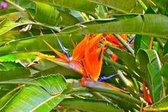 paradis tenerife för fågelkanariefågelö Royaltyfria Bilder