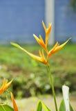 paradis tenerife för fågelkanariefågelö Arkivfoto