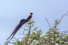 Paradis-Whydah oriental en parc national de Kruger, Afrique du Sud photographie stock