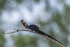 Paradis-Whydah oriental en parc national de Kruger, Afrique du Sud images stock