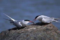 北极paradisaea胸骨燕鸥 库存照片