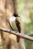 Paradisaea Bird. Paradisaea laying on a stick Royalty Free Stock Photo