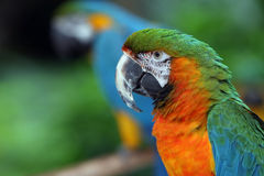 Paradise. Side Profile of a beautiful Macaw Stock Photography