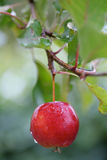 Paradise apple. A small beautiful red, juicy and rainwet apple on a branch with green leaves Stock Images