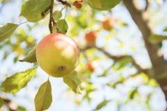 Paradise apple on a branch Stock Photos