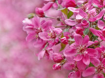 Paradise apple flowers. Bright pink flowers in the spring garden Stock Image