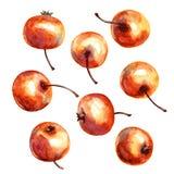 Paradise apple. Stock Image