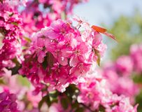Paradise apple-tree blooming, Stock Images