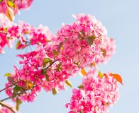 Paradise apple-tree blooming,. Malus pumila - natural lovely pink fragrant spring flowers of a paradise apple-tree in small DOF Royalty Free Stock Image