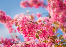 Paradise apple-tree blooming,. Malus pumila - natural lovely pink fragrant spring flowers of a paradise apple-tree in small DOF Royalty Free Stock Photography