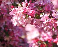 Paradise apple tree blooming in pink. Closeup of crab apple tree branch full of flowers. Abstract floral background. Copy space Royalty Free Stock Images