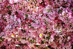 Paradise apple tree blooming in pink. Crab apple tree branches full of flowers. Abstract floral background Royalty Free Stock Photos