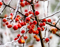 Paradise apple tree with red apples covered by frost Stock Images