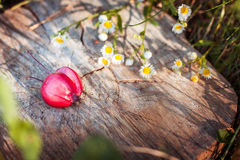 Paradise apple on wooden stand Stock Image