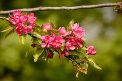 Paradise Apples Flowers Royalty Free Stock Image