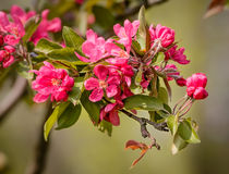 Paradise Apples Flowers Stock Images