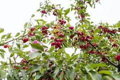 Paradise apples on a tree branch. Paradise apples on the branches of a tree stock photos