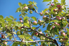 Paradise apples. On the tree . close to Stock Photo