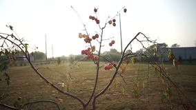 Paradise apples on the tree. Delicate tree with good fruits stock video footage