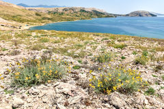 Paradise beautiful beach in  adriatic. Beautiful Adriatic  Paradise beach with stone and sea, blue and green colors and yellow flowers in front. Isolated beach Stock Photos