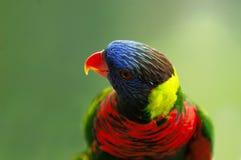 Paradise bird. A very beautiful paradise bird Stock Image
