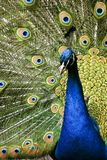 Paradise Bird Peacock Stock Images