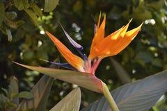 Paradise blomma som är liknande till de purpurfärgade hägerfärgerna som är orange och arkivbild
