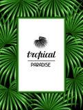 Paradise card with palms leaves. Decorative image tropical leaf of palm tree Livistona Rotundifolia. Image for holiday Stock Photography