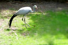 Paradise Crane Royalty Free Stock Photos