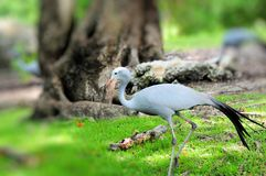 Paradise Crane walking Royalty Free Stock Image