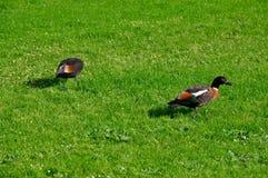 Paradise Ducks Royalty Free Stock Images