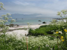 Summer in the arctic. White and yellow flowers on a white sandy beach with blue sea and a mountain in the background in Lofoten Stock Images