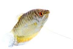 Paradise fish Royalty Free Stock Photography
