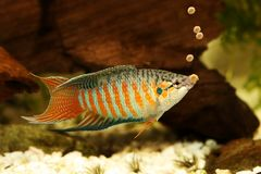Paradise fish eating fish pallet food feeding aquarium fish royalty free stock images