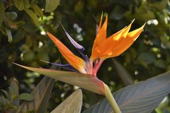 Paradise flower similar to the heron colors orange and purple stock photography