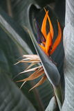 Paradise Flower. A paradise flower or Strelitzia Royalty Free Stock Photo