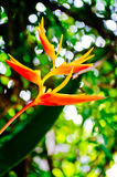 Paradise flower. Yellow bird of paradise flower royalty free stock photo