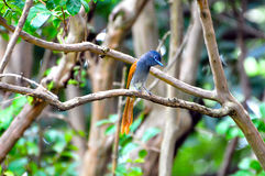 Paradise Flycatcher Royalty Free Stock Photos