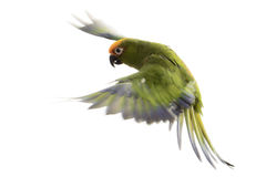 Paradise Gold Capped Conure Royalty Free Stock Images