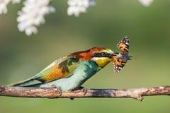 Paradise ha colorato l'uccello e la farfalla in suo becco immagini stock libere da diritti