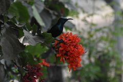 Paradise in my home in India. Sunbird. Bird. On my flower In my Garden. Jalgaon, Maharashtra, India.SD-ART-STUDIO Royalty Free Stock Photography