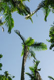 Paradise palm tree. In a lush forest Stock Photography