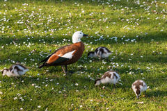 Paradise shelduck with ducklings Stock Photos