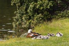 Paradise shelduck with ducklings Stock Photos